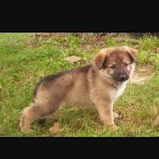 black and brown german shepherd puppies. Perfect German All These Pups Look A Few Weeks Older Than The Pup Youu0027ve Shown But They  Bit Similar Donu0027t They Inside Black And Brown German Shepherd Puppies A