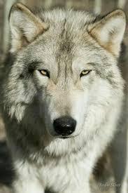 Надо научиться быть хладнокровным в любой ситуации, не смотря на любой  самый жёсткий физический пресс и любое психологическо… | Wolf pictures,  Wolf dog, Wolf spirit
