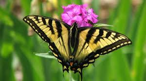 Image result for austins butterfly