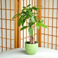 non toxic indoor plants money tree toxic houseplants for pets