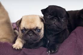 teacup pug full grown. Beautiful Pug Pug Puppies Portrait On Teacup Full Grown DogAppy