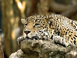african animals wallpaper high resolution.  Resolution Leopard Animal  Download Desktop Leopard Africa HD Wallpaper In High  Resolution For  Intended African Animals High Resolution