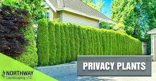 plants for privacy fence plant if you want to create some in your creating backyard c image result for how to create backyard privacy