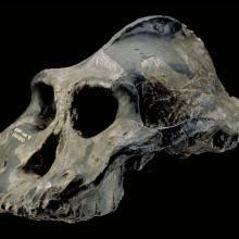 Paranthropus aethiopicus | The Smithsonian Institution's Human ...