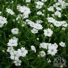 Plant Profile for Silene alpestris 'Starry Dreams' - Alpine Catchfly ...