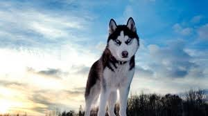 baby husky wallpaper.  Wallpaper Preview Wallpaper Husky Dog Hill Snow In Baby Husky Wallpaper S