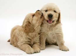 cute golden retriever puppies kissing.  Golden Golden Retriever Pups U0027kissingu0027 White Background In Cute Puppies Kissing Warren Photographic