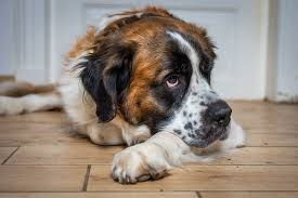Are Saint Bernards Smart? - Here's Why They Rank Low