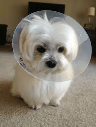 maltese dog. cutest maltese dog! dog n