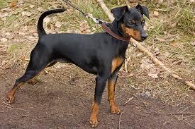 Manchester Terrier Size Chart Miniature Pinscher Wikipedia