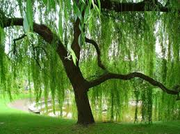 Image result for two weeping willows