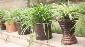 How to Care for a Spider Plant(Urdu)