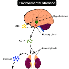 Hpa Axis Hypothalamic Pituitary Adrenal Hpa Axis Experiencing An