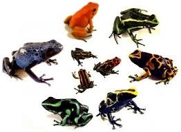 Can I Mix Poison Dart Frogs Joshs Frogs How To Guides