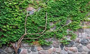 14 Best Climbing Plants For Pergolas Arches Arbor Or TrellisClimbing Plants