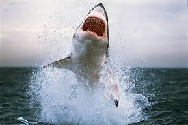 great white shark attack. Unique Attack For Great White Shark Attack G