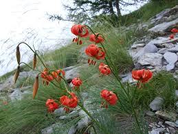 Lilium pomponium - giglio pomponio... - Flora della Liguria | Facebook