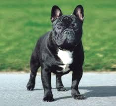 black french bulldog full grown.  Black French Bulldogs  An Enviable Life In Black Bulldog Full Grown C