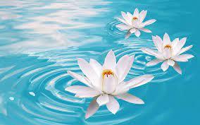 White Lotus Flower HD 3D Wallpaper ...