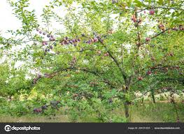 plum tree garden stock photo