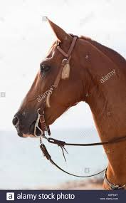draft horse head profile. Interesting Draft Horse Looking Into Distance  Stock Image And Draft Horse Head Profile H