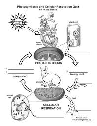 Cell Energy Flow Chart Photosynthesis And Cellular Respiration Answer Key Learn More About Cellular Respiration On Exploringnature Org