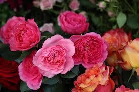 rose baronesse pink garden rose floribunda rose