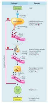 Hormone Cascade Pathways Endocrine System Thyrotropin