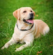labrador retriever. Simple Retriever Labrador Retriever Intended O
