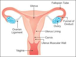 Female Reproductive System Chart Draw A Well Labelled Diagram Of Female Reproductive System