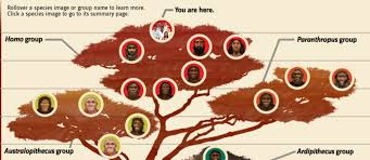 Human Family Tree Interactive To Date Fossils From Many