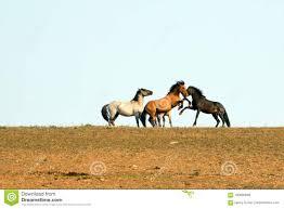 wild horses mustang fighting. Exellent Fighting Download Wild Horses  Mustang Stallions Fighting In The Pryor Mountains  Horse Range On Inside S