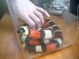 milk snake size pueblan milksnake youtube