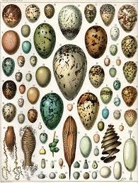 Egg Identification Chart Egg Wikipedia