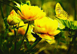 erfly wallpaper fl wallpaper es yellow erfly backgrounds free wallpaper backgrounds larutadelsorigens