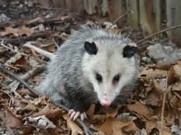 Image result for possum removal