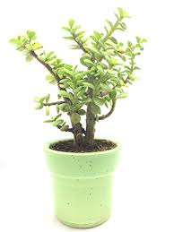 Bamboo Black Gold Good Luck Jade Plant In Inch Ceramic Pot lucky Plant Feng Archtoursprcom Black Gold Good Luck Jade Plant In Inch Ceramic Pot lucky Plant