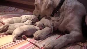 golden retriever newborn puppies. Exellent Retriever Newborn English Golden Retriever Puppies 1 Day Old And E