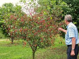 All About Dwarf Fruit Trees  Starkbros  Planting U0026 Growing Cherry Fruit Tree Care