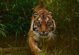 Image result for tiger image