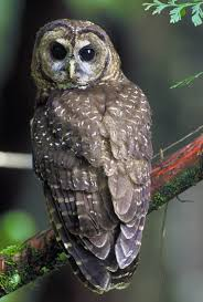 Northern Spotted Owl Wikipedia