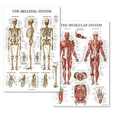 Palace Learning Muscular Skeletal System Anatomical Poster Set Laminated 2 Chart Set Human Skeleton Muscle Anatomy Double Sided 18 X 27
