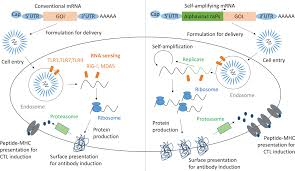 This protein covers the outside of the virus that causes. Frontiers Rna Vaccines A Suitable Platform For Tackling Emerging Pandemics Immunology