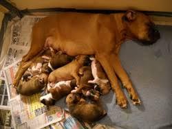 cody s aniah s boxer pups