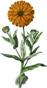 Botanical Marigold Image! - The Graphics Fairy