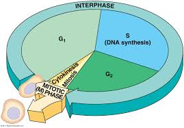 cell cycle labeling diagram cell database wiring diagram images 12 06cellcycle l1320204564101