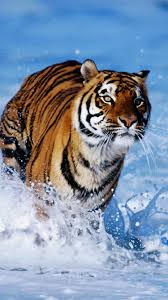 tiger iphone 6 wallpaper. Brilliant Iphone Water Tiger IPhone 6 Wallpaper In Iphone HD