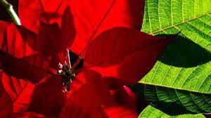 Dick Einpacken Weihnachtssterne Sind Empfindlich Wohnen