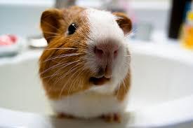 don t waste your guinea pig danny franks