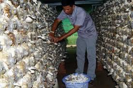 Kết quả hình ảnh cho công nhân trồng nấm